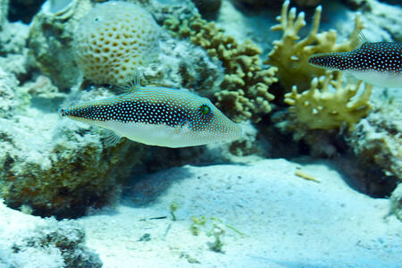 saltwater pearl: Pearl toby (Canthigaster margarita) in the Red Sea, Egypt.