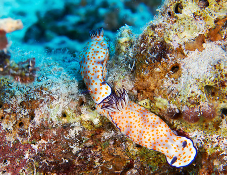 nudi: Orange dotted slug (Risbecia ghardaqana) in the Red Sea, Egypt.