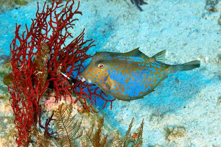 boxfish: Bluetail trunkfish (Ostracion cyanurus) in the Red Sea, Egypt.