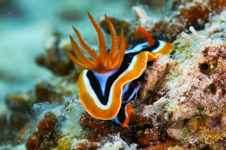 nudi: Pyjama chromodorid (Chromodoris quadricolor) in the Red Sea, Egypt. Stock Photo