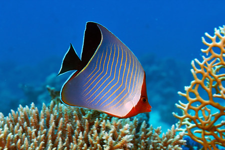 red sea: Hooded butterflyfish (Chaetodon larvatus) in the Red Sea, Egypt.