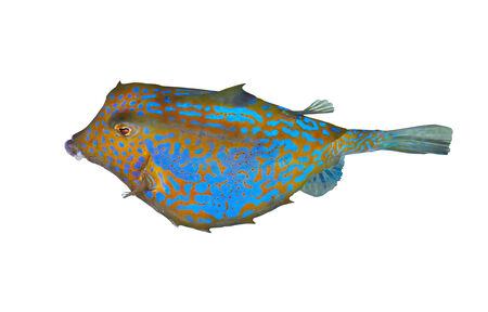 boxfish: Bluetail trunkfish (Ostracion cyanurus) isolated on white background. Stock Photo