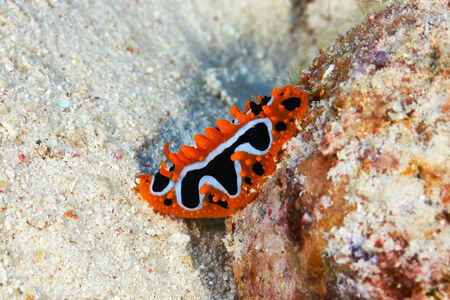 nudi: Eye spot sea slug (Phyllidia ocellata Cuvier) in the Red Sea, Egypt.