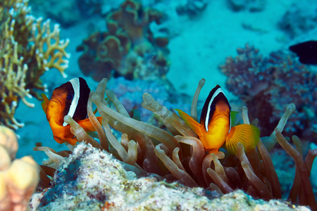 Twoband anemonefishes (Amphiprion bicinctus) and  anemone in the Red Sea, Egypt. photo