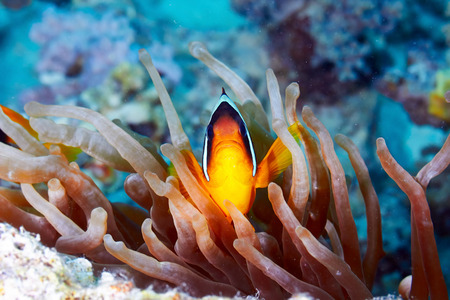 amphiprion bicinctus: Twoband anemonefish (Amphiprion bicinctus) and  anemone in the Red Sea, Egypt. Stock Photo