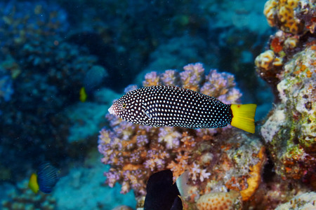 labridae: Spotted wrasse (Anampses meleagrides) in the Red Sea, Egypt.