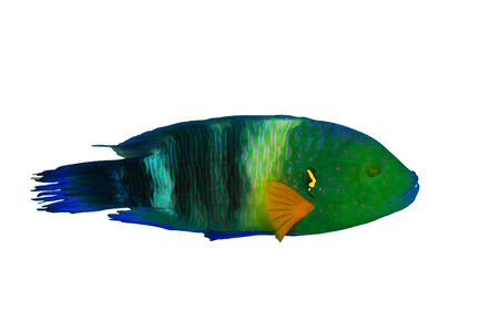 labridae: Broomtail wrasse (Cheilinus lunulatus) male, isolated on white background.