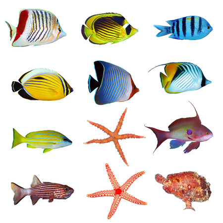 saltwater: Tropical fish collection on white background. Stock Photo