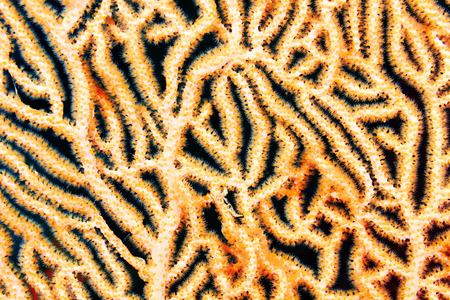 splendide: Magnifique gorgones � n?uds (splendens Acabaria) dans la mer Rouge, en Egypte.