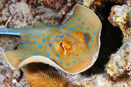 bluespotted: Bluespotted ribbontail ray (Taeniura lymma) clouse up view, in the Red Sea, Egypt. Stock Photo