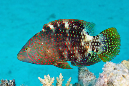 cheilinus: Abudjubbes wrasse (Cheilinus abudjubbe) in the Red Sea, Egypt.