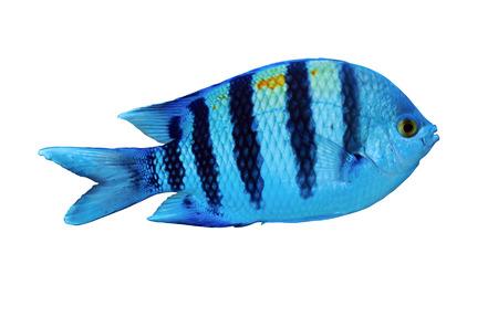 tropical fish isolated: Sergeant major (Abudefduf vaigiensis), isolated on white background. Stock Photo
