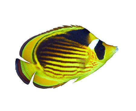 Diagonal-lined butterflyfish (Chaetodon fasciatus), isolated on white background. Stock Photo