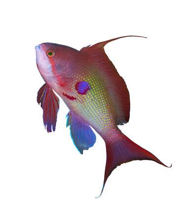 basslet: Sea goldie (Pseudanthias squamipinnis), isolated on white background. Stock Photo