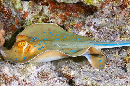 taeniura: Bluespotted ribbontail ray (Taeniura lymma), in the Red Sea, Egypt.