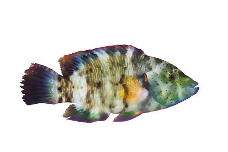 labridae: Broomtail wrasse (Cheilinus lunulatus) female, isolated on white background.
