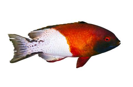 lyretail: Lyretail hogfish (Bodianus anthioides), isolated on white background.