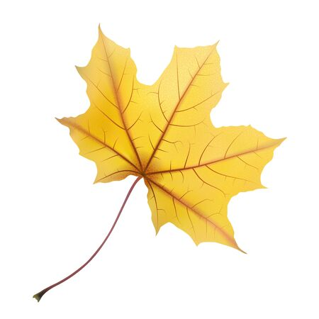 withering: Falling autumn maple leaf on white, detailed and textured, vector illustration.