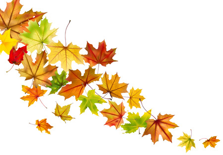 withering: Maple autumn falling leaves, vector illustration  Illustration