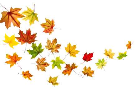 Maple autumn falling leaves, vector illustration  Vector