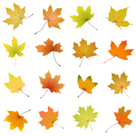 withering: Set of falling autumn maple leaves on white background, vector illustration