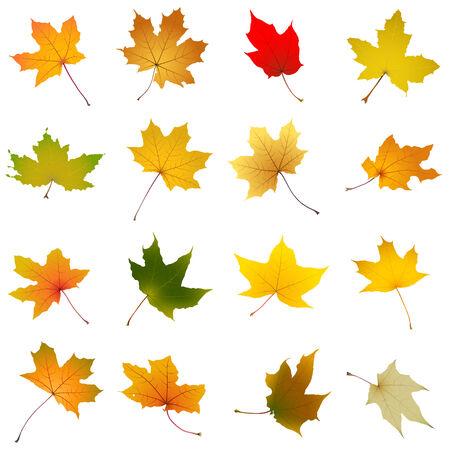 Set of falling autumn maple leaves on white background, vector illustration