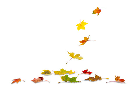 withering: Maple autumn leaves falling to the ground, on white background.