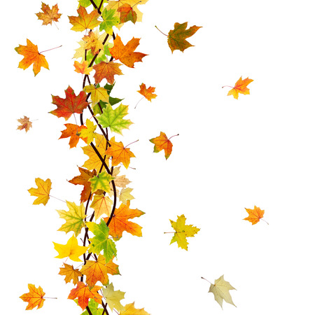 withering: Vertical seamless pattern of branch autumn maple leaves on white background. Stock Photo