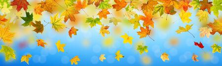 panoramic nature: Panoramic view of autumn maple leaves falling down on natural background. Stock Photo