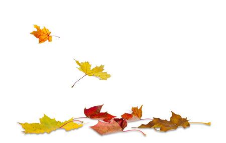 메이플 가을 흰색 배경에, 땅에 떨어지는 나뭇잎.