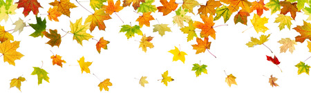 Panoramic seamless pattern of autumn maple leaves falling down on whitel background.