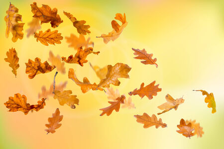 falling leaves: Autumn oak leaves falling down on natural background. Stock Photo