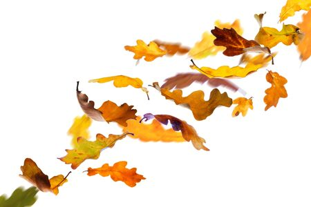 withering: Falling autumn oak leaves isolated on white background. Stock Photo