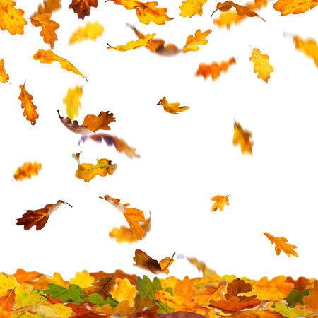 Falling autumn colour oak leaves isolated on white background.