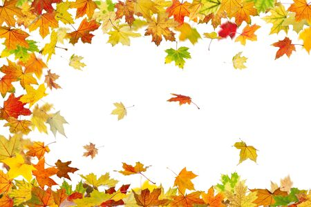 Falling autumn maple leaves isolated on white background. Stock Photo