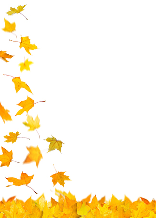 withering: Falling autumn yellow maple leaves, isolated on white background. Stock Photo