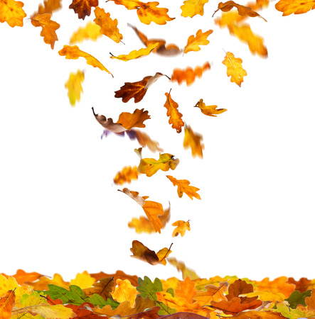 withering: Falling autumn color oak leaves isolated on white background. Stock Photo
