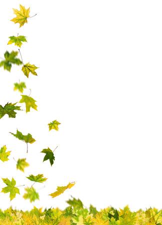 withering: Falling autumn green maple leaves, isolated on white background.
