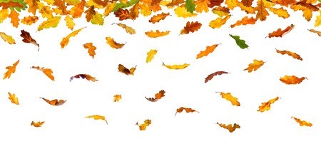 withering: Seamless pattern of  autumn oak leaves, isolated on white background.