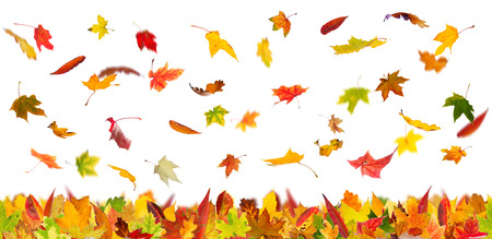 panoramic nature: Falling autumn various types of leaves, isolated on white background.