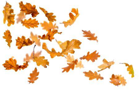 withering: Falling autumn oak leaves, isolated on white background. Stock Photo