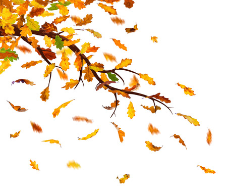 withering: Branch with autumn oak leaves falling down, isolated on white background.