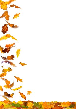 withering: Falling autumn colored oak leaves isolated on white background. Stock Photo