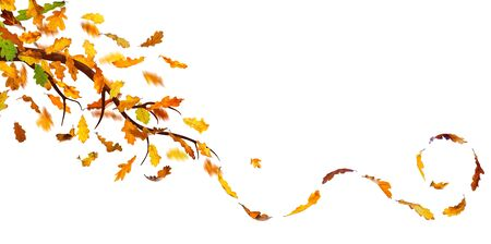 autumn scene: Branch with autumn oak leaves falling down, isolated on white.