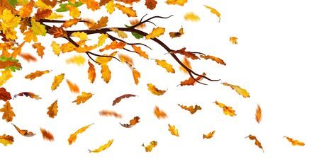 withering: Branch with falling autumn oak leaves, isolated on white background.