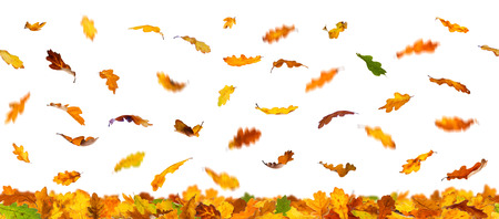 oak: Seamless pattern of  falling autumn oak leaves, isolated on white background.