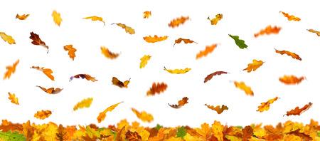 oak: Seamless pattern of  falling autumn oak leaves, isolated on white background.