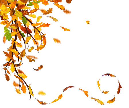 Branch with autumn oak leaves falling down on white background.