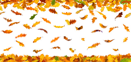 leaves falling: Seamless pattern of autumn oak leaves falling down on white background.
