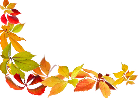 nature: Falling autumn leaves of Virginia Creeper (Parthenocissus quincquefolia) on white background.